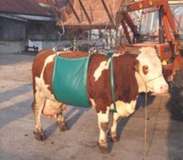Telaio di sollevamento bovini